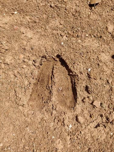 Roe Deer Tracks - Petjades de Cabirol - Huellas de Corzo