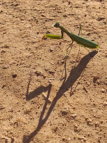 Praying Mantis - Pregadeu - European Mantis