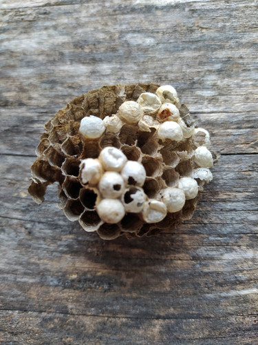 Wasp nest - Niu de Vespes - Nido de Avispas