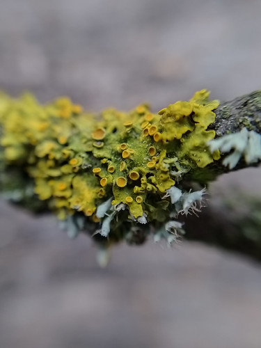 Branch covered in Moss and Lichen