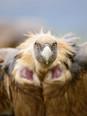 Griffon Vulture - Voltor comú - Buitre Leonado