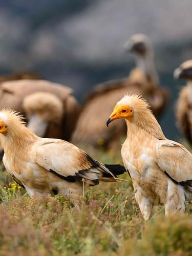 Egiptian Vulture - Aufrany - Alimoche