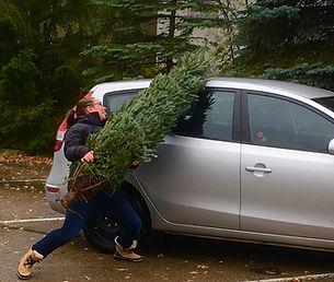 Christmas tree struggle. Girl struggling to load christmas tree onto car