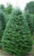Balsam Fir Christmas tree, not cut.