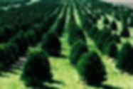 Christmas tree farm, with rows of Christmas trees