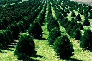 Christmas tree farm, with rows of Christmas trees