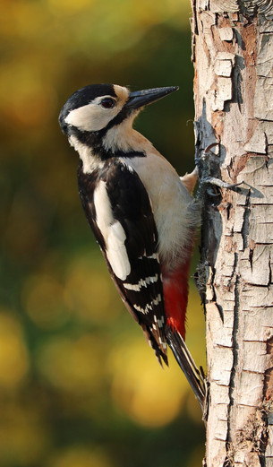 How it works: Woodpeckers