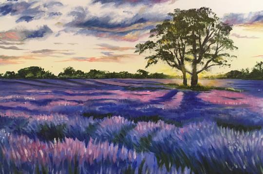 Lavender Field, Sunrise