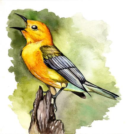 Prothpnotary Warbler