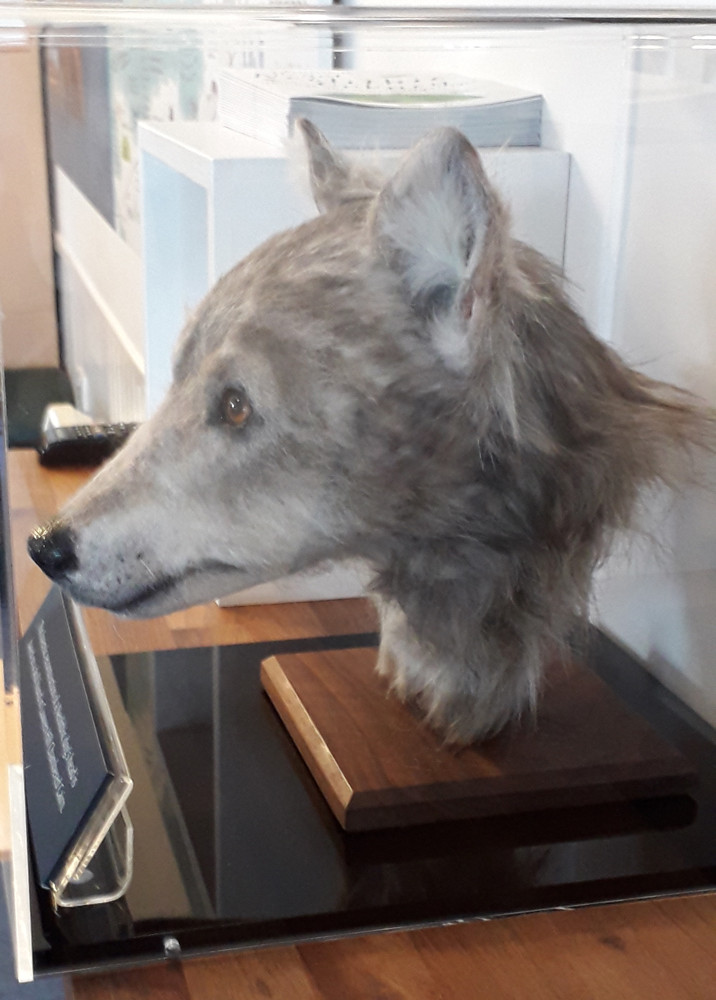 Reconstruction of a Neolithic dog based on the skull from Cuween Hill tomb in Orkney