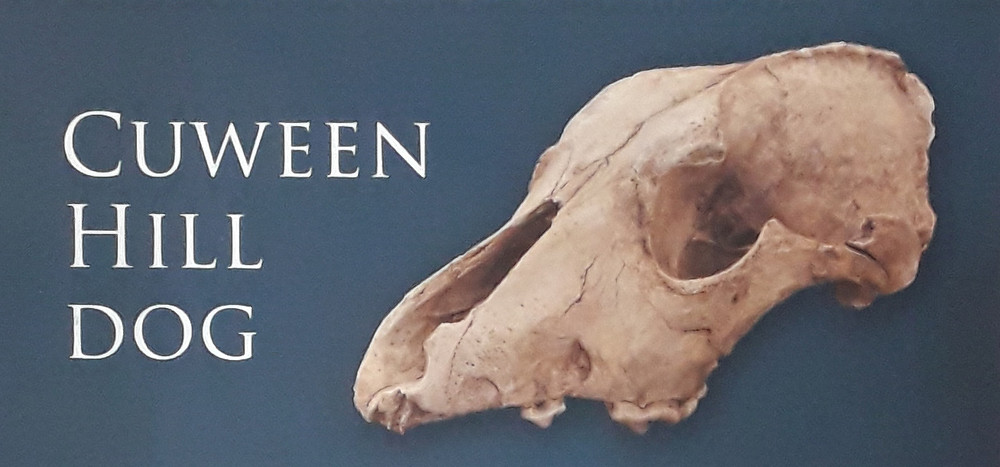 The Neoltihic dog skull from Cuween Hill tomb, Orkney