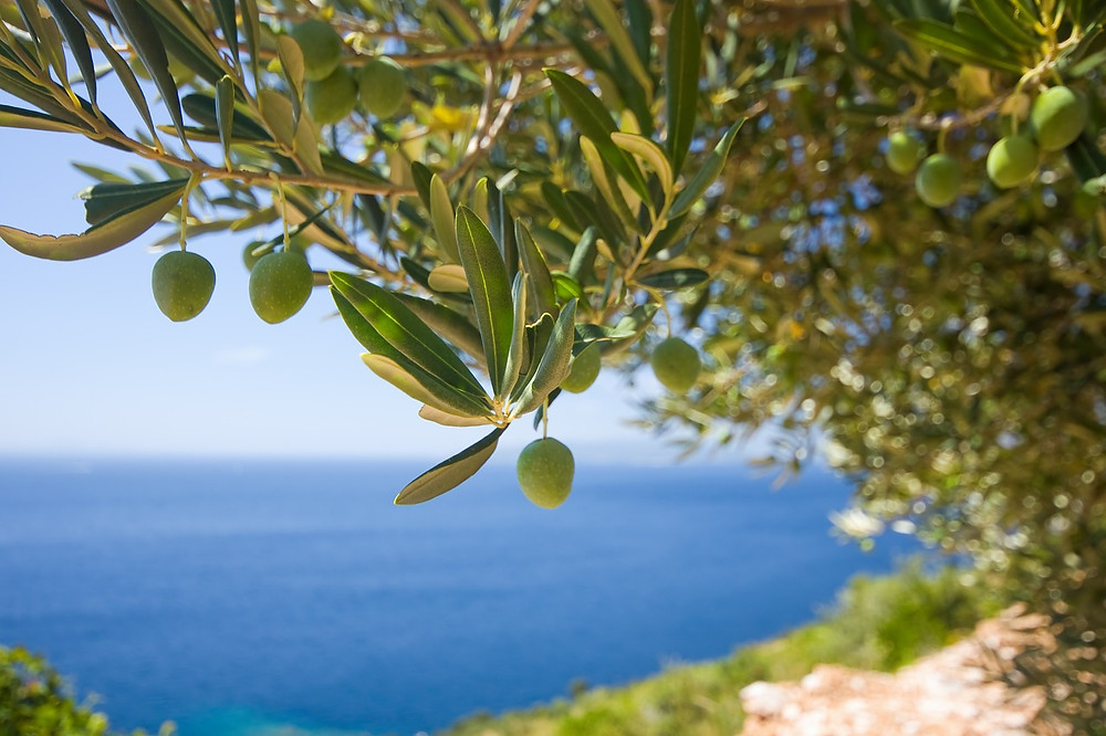 greckie drzewo oliwne
