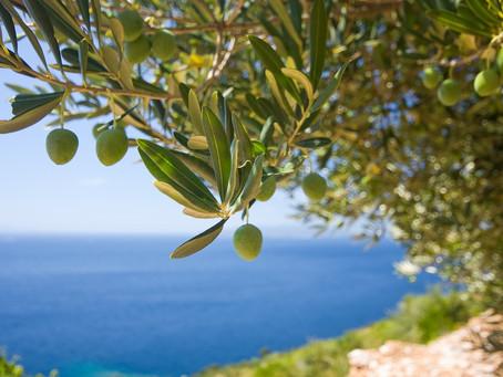 Historia greckich drzew oliwnych