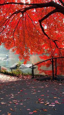 1440x2560-red-autumn-tree-hd-wallpaper-a