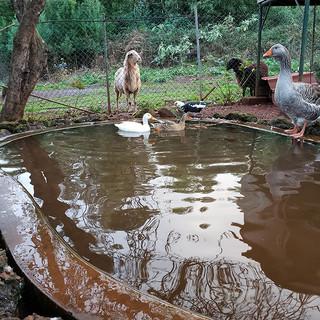 Ducks Goose and Sheep.jpg