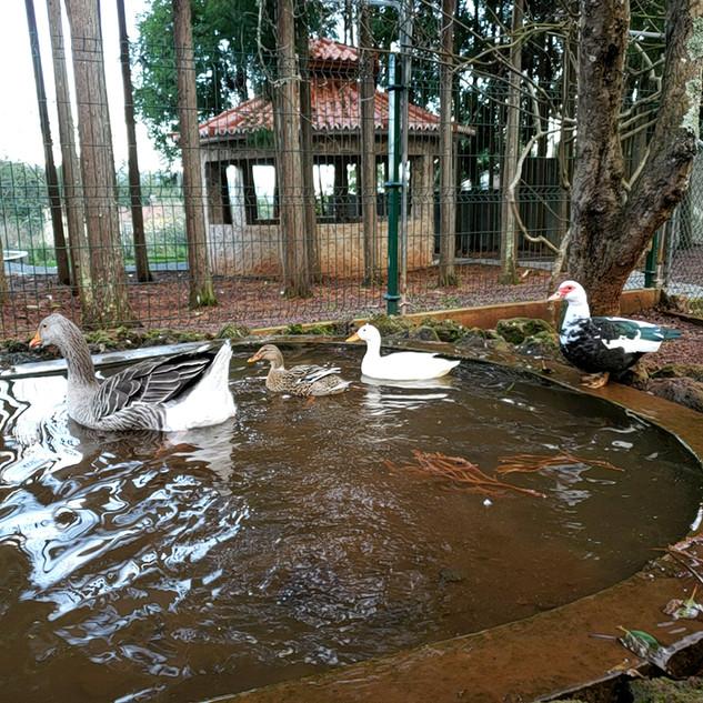 Ducks Goose and Gazebo.jpg