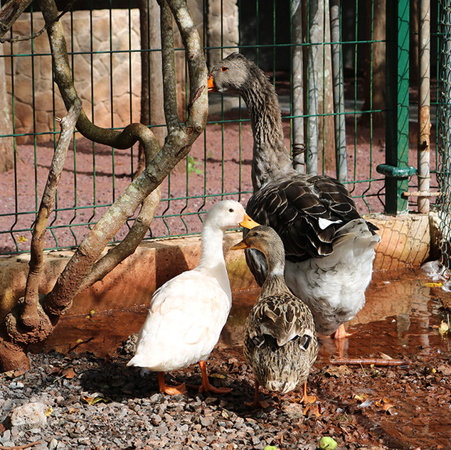 Ducks and Goose.jpg
