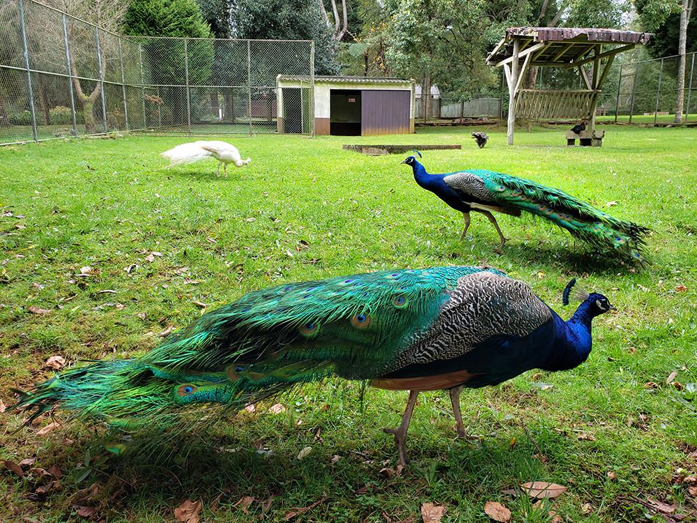 Parque do Santo Peacocks
