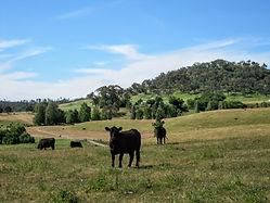 Australian grassfed beef cattle