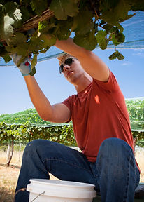 Grape Harvesting by hand