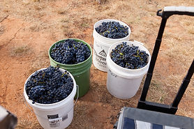 Hand Harvesting Grapes