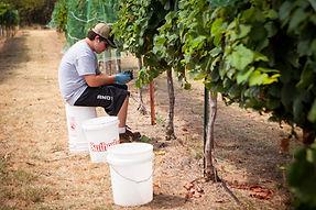 Small batch grape harvesting