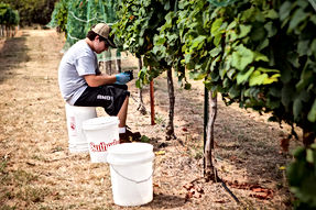 Small batch grape harvesting