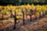 Vineyard in afternoon sun