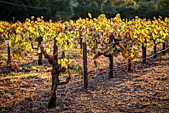 Vineyard in afternoon sun