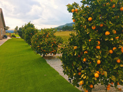 Citrus and other Fruit Trees