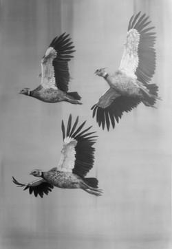 Chajá (chauna torquata) en vuelo