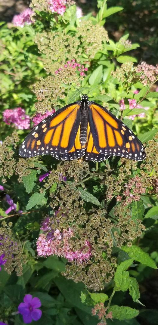 Monarch emerged