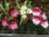 Miltonia Orchids