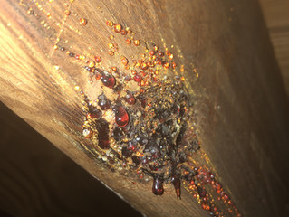 Causes of wood sap on attic beams
