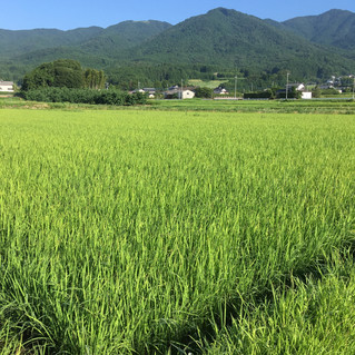 中津川の田んぼです。
