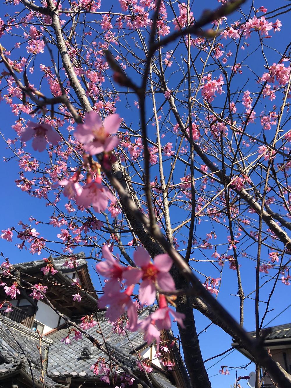 中津川のおかめ桜