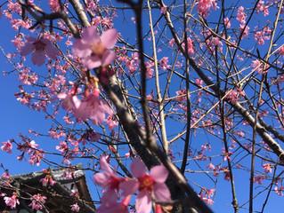 おかめ桜が、終わる