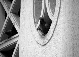 Pigeon Control: The dangers of pigeon excrement and nesting materials to architecture.
