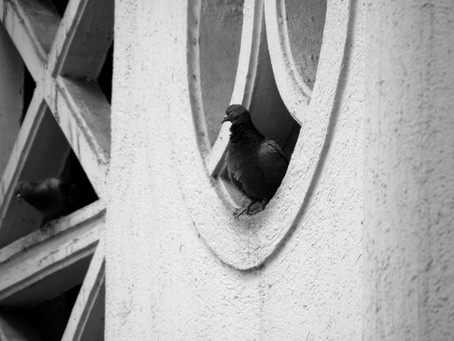 MSPCA wants greater transparency and discussion on Pigeon management plan.