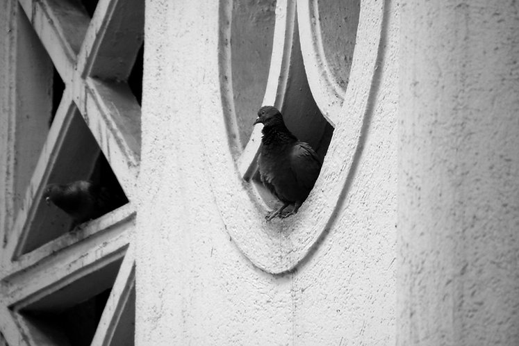 Pigeon sitting in a round window sill.