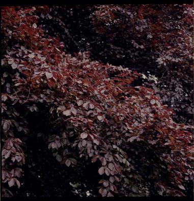 Photo007_leaves_mamiya.jpg