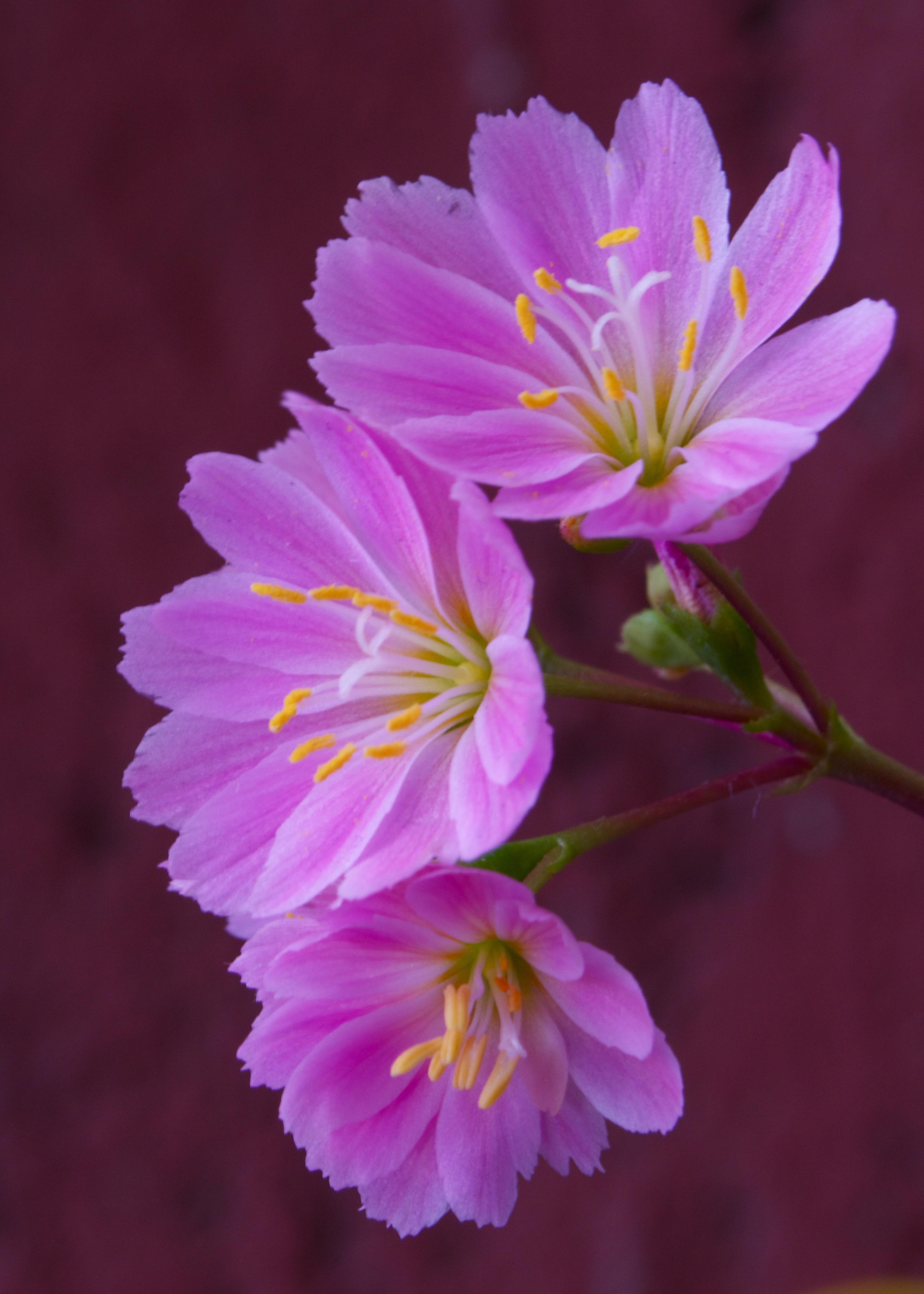 ©The South West London Gardener - Lewisia