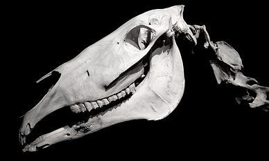 Horse Skull Profile Isolated On Black Ba