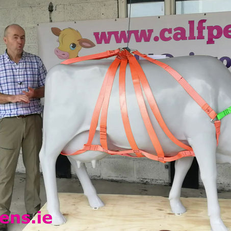 How to lift an injured cow?