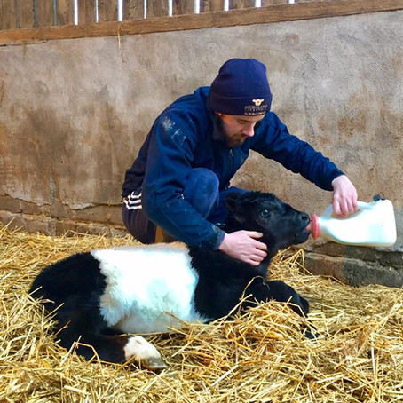 The importance of getting colostrum into calves quickly is illustrated in this trial from Oklahoma U