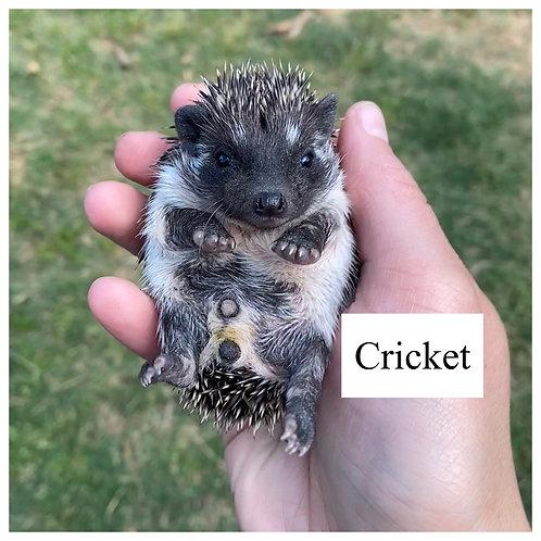 Cricket- $400