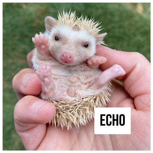 Echo- $300