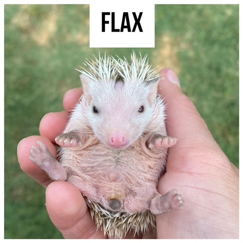Flax- $325