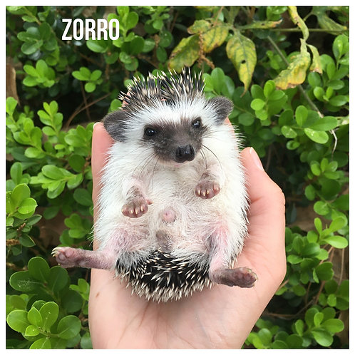 Zorro - $300