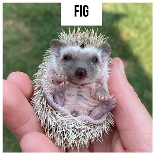 Fig-$300